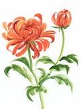 Orange chrysanthemum Royalty Free Stock Photo