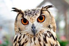 Orange Eyes Owl Stock Photography