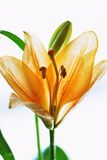 Orange lilly Royalty Free Stock Images