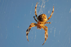 Orb-weaver spider Royalty Free Stock Photos