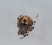 Orb Weaving Spider Stock Images