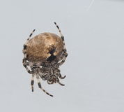 Orb Weaving Spider Royalty Free Stock Photo