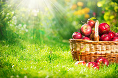 Organic Apples in the Basket. Orchard Royalty Free Stock Image