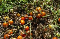 Organic tomato plants Royalty Free Stock Photo