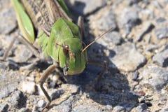 Oriental migratory locust Royalty Free Stock Images