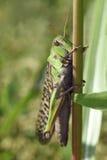 Oriental migratory locust Royalty Free Stock Photography