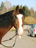 An Orlov trotter sticking his tongue out Royalty Free Stock Image