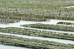 Oyster Culture Royalty Free Stock Images