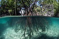 Pacific Mangrove Stock Images