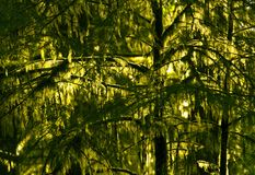 Pacific Northwest Rainforest Royalty Free Stock Image