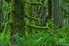 Pacific Northwest Rainforest Stock Images