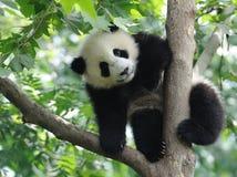 Panda del bambino sull'albero Fotografie Stock Libere da Diritti