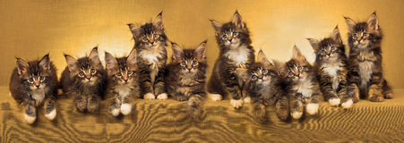 Panorama collage of Maine Coon kittens Stock Image