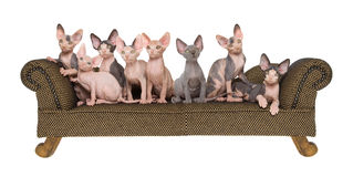 Panorama composite of Sphynx kittens Royalty Free Stock Image