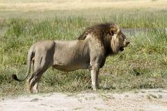 Powerful Predator Royalty Free Stock Photography