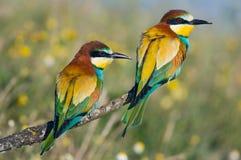 Pares de pássaros Fotos de Stock