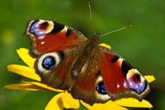 Peacock butterfly or Inachis io in summer Royalty Free Stock Image