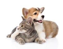 Pembroke Welsh Corgi puppy hugging cat. isolated on white background Stock Image