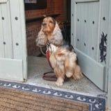 Perro de aguas de cocker inglés Imagen de archivo libre de regalías