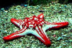 Pesci rossi della stella Immagini Stock Libere da Diritti