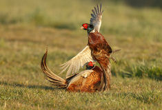Pheasant fighting Stock Images