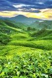 Piantagioni di tè Immagine Stock Libera da Diritti
