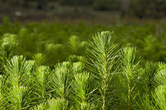 Pine Stock Images
