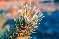 Pine branch covered with frost Stock Images