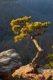 Pine Tree On Cliff Edge Stock Images