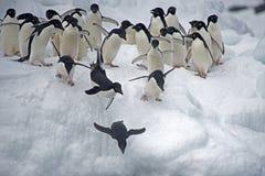 Pingouin d'Adelie sur la glace, mer de Weddell, Anarctica Images libres de droits