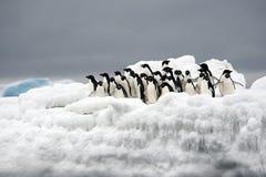 Pingouin d'Adelie sur la glace, mer de Weddell, Anarctica Image libre de droits