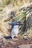 Pingouin de Rockhopper (chrysocome d'Eudyptes) entrant dans la colonie Images libres de droits