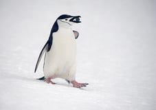 Pingouins de jugulaire marchant, Anarctica Photographie stock libre de droits