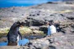 Pingouins de Rockhopper se baignant dans une piscine de roche dans leur colonie Photos libres de droits