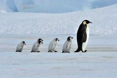 Pinguino dell'imperatore Fotografia Stock