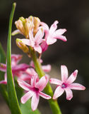 Pink flowers on the stem with the green thin and long leaves on the black-and-brown background Stock Photo