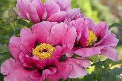 Pink peony bush Royalty Free Stock Images