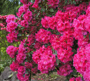 Pink rhododendrons shrub in bloom. Spring. USA Northwest. Royalty Free Stock Images