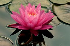 Pink Water Lilly Stock Images