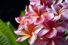 Pink Yellow Plumeria Flowers Stock Image