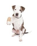 Pit Bull Dog With Injured Paw Stock Photos