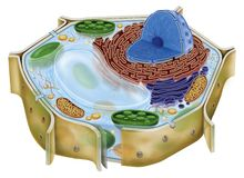 Plant cell Stock Image