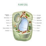 Plant cell Royalty Free Stock Photo