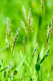 Plant portrait sweet vernal grass Royalty Free Stock Photo