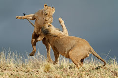 Playful African lions Stock Photography