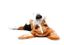 Playful Beagle Royalty Free Stock Image