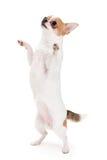 Playful Chihuahua Stock Photo