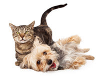 Playful Dog and Cat Laying Together Royalty Free Stock Images