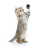 Playful funny kitten looking up. isolated on white Stock Image