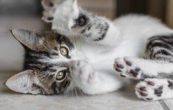 Playful Kitten Royalty Free Stock Photo